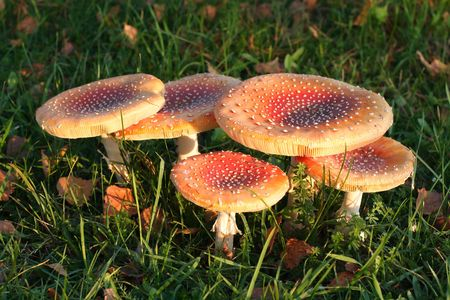 Red mushrooms group in park. Background photo