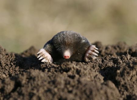 molehill: black mole in open air, molehill