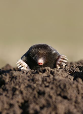 sniff: black mole in molehill, intruder or pest