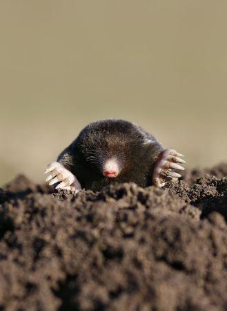 black mole in molehill, intruder or pest