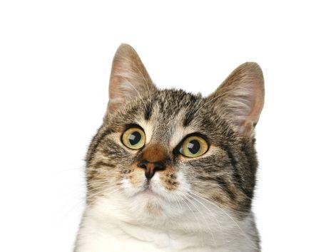 speckle: speckle cat on white background, portrait favourite