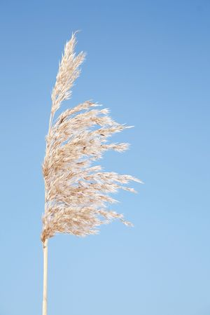 fluffy tuft: he ripened ear of reed on background of the blue sky