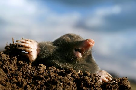 Dangerous mole in molehill, showing claws and teeth photo