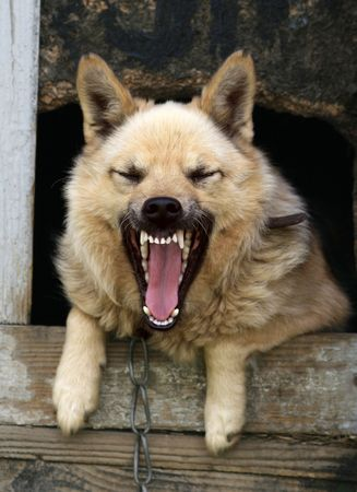 enraged: lonely dog yap from a kennel