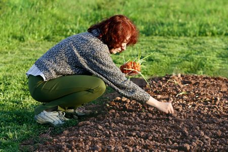 planting green onion in vegetables garden photo