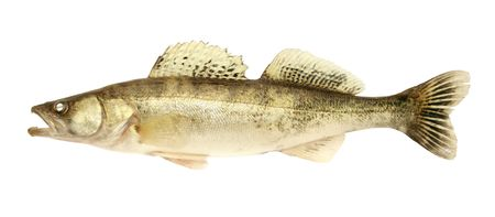 dainty: fresh and dead zander on the white background Stock Photo