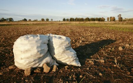 potatos, digging up harvesting of root crops, infertile soil, crop failure, lean year, potato field Stock Photo