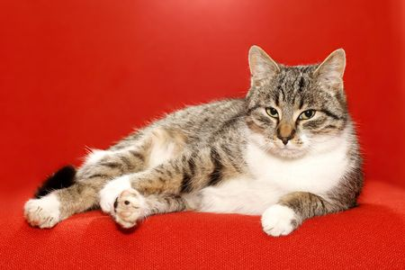 lazybones: very nice kitty on red background and idler Stock Photo