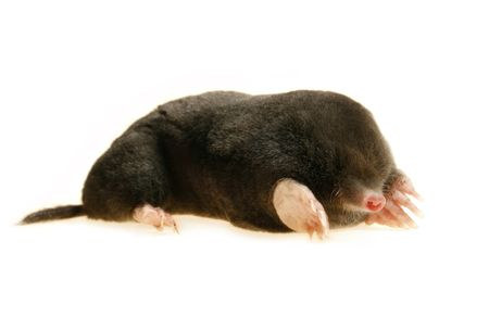 sniff: live mole showing claws and paws, studio isolated, talpa europaea