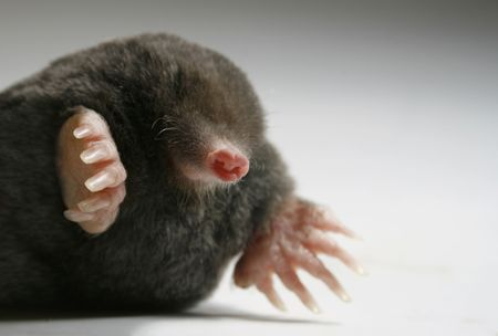 live mole showing claws and paws, studio isolated, close to talpa europaea