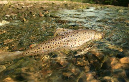 grote bruine forel kuit schieten in het open en shoal stroom rivier, gezicht tegenslagen met moed, tegen de stroom