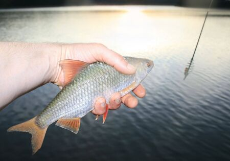 rutilus: caught roach on the lake background, fish in hand, body of water, Rutilus rutilus on a river