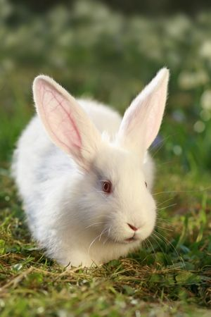 coney: white albino rabbit on early spring meadow background, snow-white coney