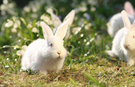 ostern lustig: Gruppe wei�en Albino rabbits auf fr�hen Fr�hling Wiese Hintergrund, schneeweisse Fell