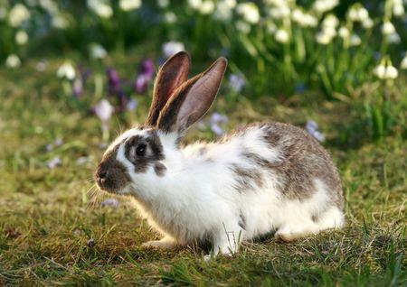 vigilant: ears of vigilant rabbit, bunnys free, early spring