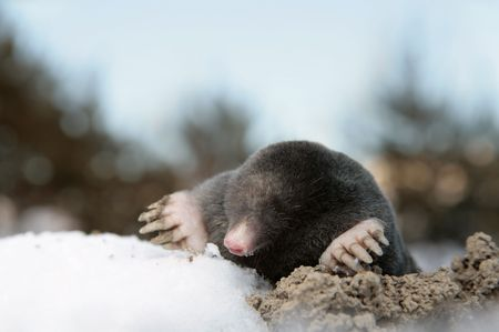 molehill: Dangerous mole in molehill, winter, snow