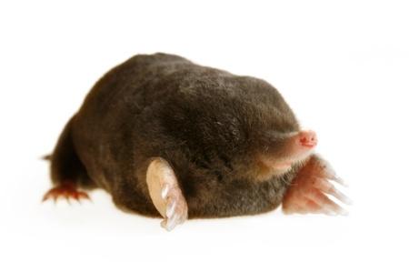 animal mole: live mole showing claws and paws, studio isolated, talpa europaea