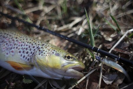 Brown trout on the natural background Stock Photo