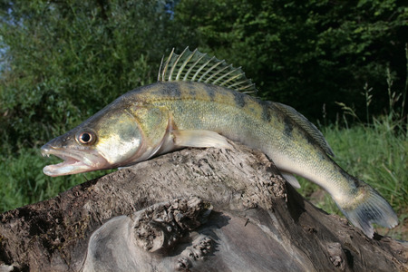 Pikeperch on the old stump Zdjęcie Seryjne