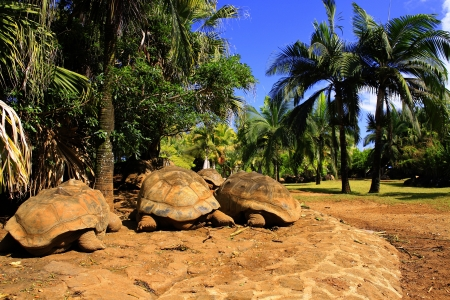 large turtle: Three giant turtles resting under the palm shadow