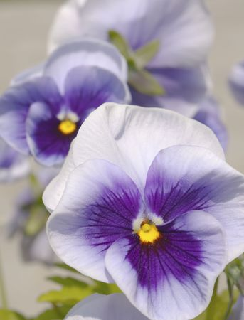 Three blue yellow white pansies on bright background Stock Photo - 5124493