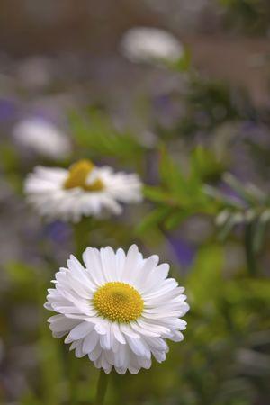 Four chamomile close-up macro on nature background Stock Photo - 6221076