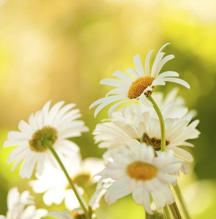 Chamomile close-up macro on nature background Stock Photo - 6221142