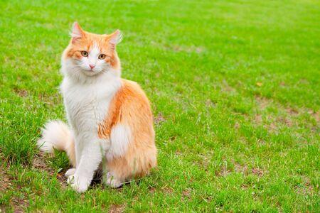 Orange white cat portrait on green grass backgound