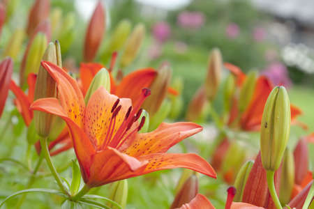 Orange tigerlily in the wild nature Stock Photo - 6224629
