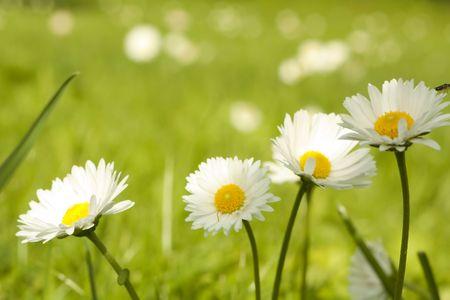 Four daisy close-up macro on nature background Stock Photo - 6224903