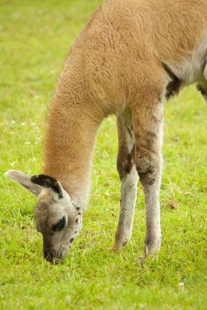 Lama eating grass in nature photo