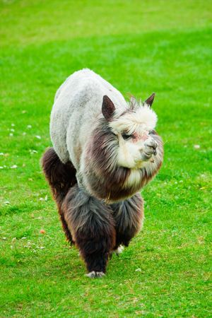 Lama on grass background in nature photo