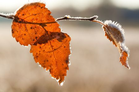 Frost Brich leaf on nature background