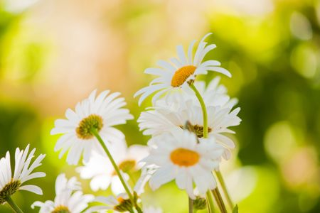 Chamomile close-up macro on nature background Stock Photo - 6274566