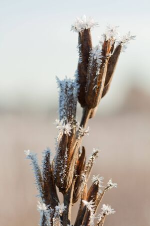 Frost grass close up in nature photo