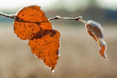 brich: Frost Brich leaf on nature background