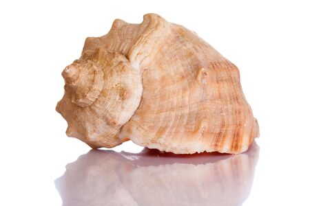 Scallop shell isolated on white with reflection photo