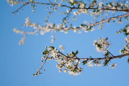 Cherry tree with white flowers Stock Photo - 6955905
