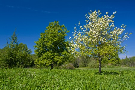 Apple tree with flowers on ble sky Stock Photo - 7119534