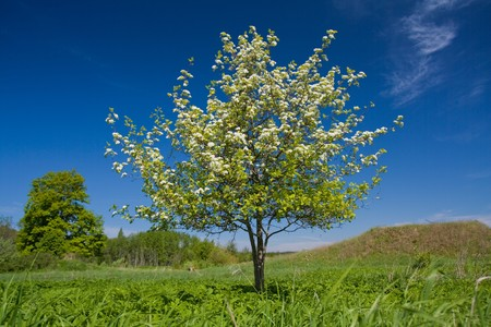 Apple tree with flowers on ble sky Stock Photo - 7588467