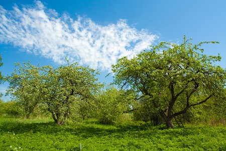 Apple tree with flowers on ble sky Stock Photo - 7588031