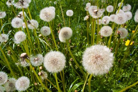 Dandelion on green backgoud with seeds Stock Photo - 7588567