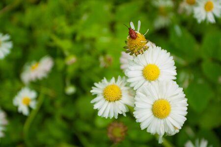 Daisy kwiatów makra Zamknij w charakterze  Zdjęcie Seryjne