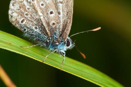 amanda: Amandas Blue butterfly (Polyommatus amandus)
