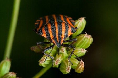 black orange striped bug, graphosoma lineatum, on green stem photo