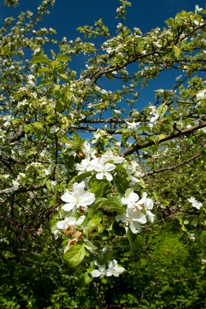 ble: Apple tree with flowers on ble sky