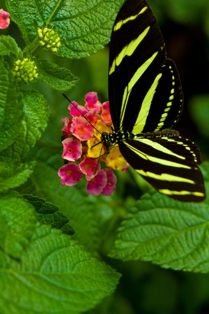 Zebra Longwing (heliconius charithonia) butterfly in nature Stock Photo