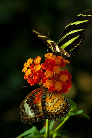 Zebra Longwing (heliconius charithonia) with Great Eggfly Butterfly (Hypolimnas bolina)butterfly in nature