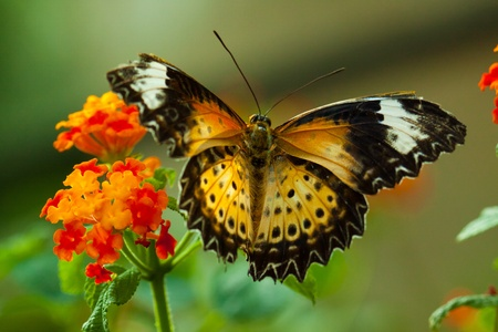 Great Eggfly Butterfly (Hypolimnas bolina), also called Blue Moon Butterfly 版權商用圖片