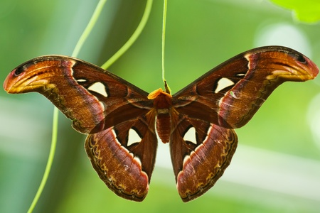 Atlas Moth (Attacus atlas) hatched from cocoon and drying its wings.